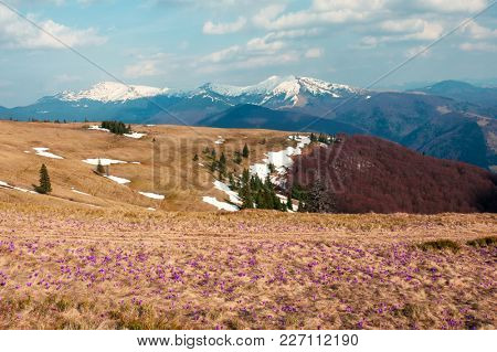 Field of crocus flowers in grass on spring meadow in Carpathian mountains. Landscape photography