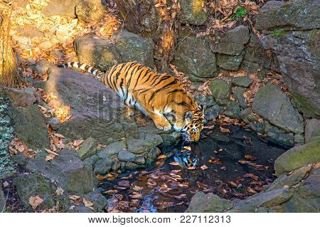 The Amur Tiger Is Drinking Water From A Reservoir In The Safari Park. On A Sunny Day