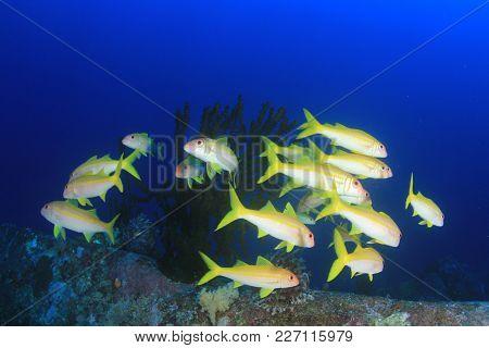 Fish on coral reef. Yellowfin Goatfish school underwater poster
