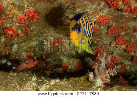 Regal (Royal) Angelfish fish