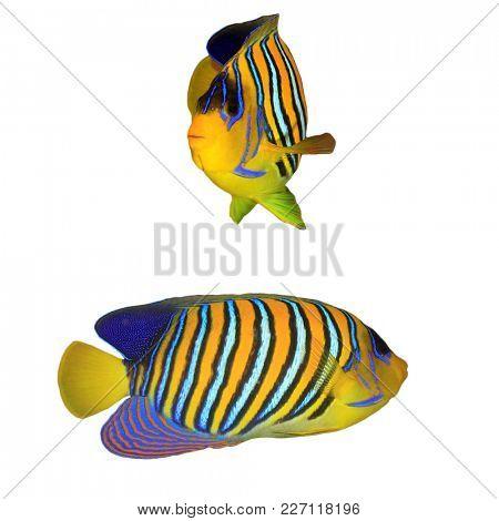 Regal (Royal) Angelfish fish isolated on white background