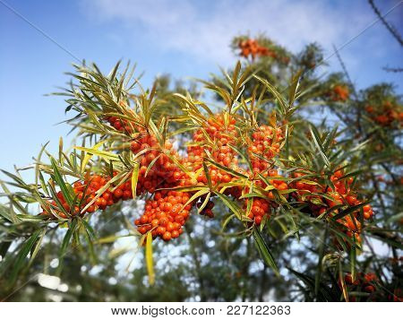 Orange Sea-buckthorn With Green Twig In Autumn
