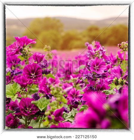 Flower Field Of Beautiful Wild Purple Mallow