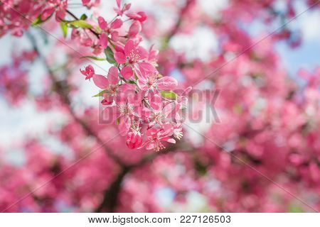 Pink Cherry Blossom Tree In The Park In Spring And Boke