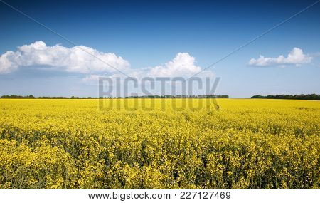 Rapeseed Field, Blooming Canola Flowers Close Up. Rape On The Field In Summer. Flowering Rapeseed