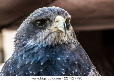 Beautiful Hawk Carefully Observing People In A Medieval Market