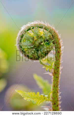 Fern Frond.new Fern Leaf Unfurling. Tree Fern Unrolling A New Frond. Blossoming Fern True Leaves Meg