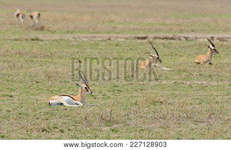 Closeup of Thompson's Gazelle (scientific name: Gazella thompsoni, or