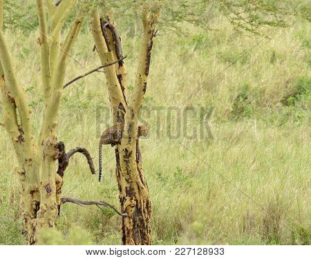 Leopard up a tree (Panthera pardus, or