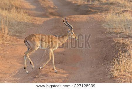 Closeup of Impala ( Aepyceros melampus, or