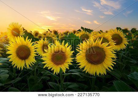 Sunflower At Sunset / Bright Sunflower On Vaughan Of A Beautiful Sunset