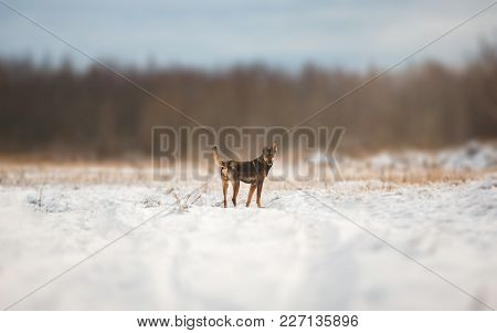 Portrait Of Beautiful Dog, Standing At Winter Meadow, Looking At Camera