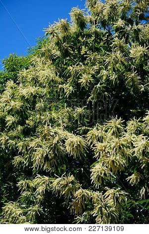Chestnut Tree In Blossom In The Monchique Mountains, Monchique, Algarve, Portugal, Europe.