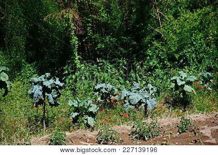 Collard Plants Growing On A Vegetable Plot, Monchique, Algarve, Portugal, Europe.