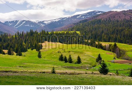 Spruce Trees On Grassy Slopes In Mountainous Area. Gorgeous Landscape Of Carpathian Mountains In Spr