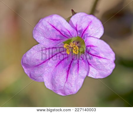 Pink Five-lobed Flower With Purple Veins And Yellow Pollen Filled Stamens
