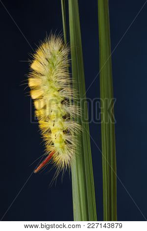 Side View Of Bushy Yellow Caterpillar On Grass