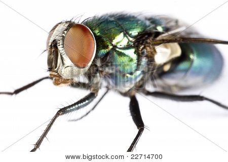 Iridescent House Fly In Close Up