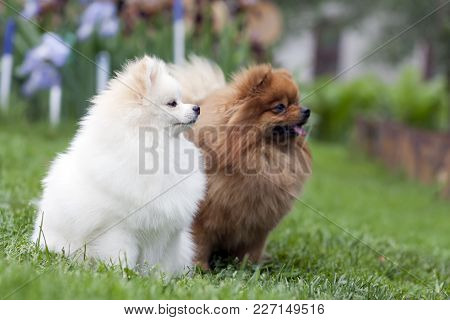 Two Playing Spitz On Green Grass. High Resolution Photo.