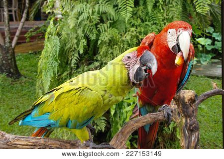 Pair Of Lovely Blue-and-yellow Macaw Parrot Birds Ara Ararauna Known As The Blue-and-gold Macaw Sitt