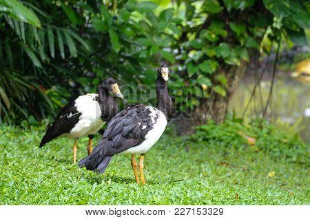 Magpie Goose Anseranas Semipalmata On A Warm Day
