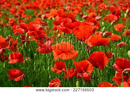 Remembrance day, Anzac Day, serenity. Opium poppy, botanical plant, ecology. Poppy flower field, harvesting. Summer and spring, landscape, poppy seed. Drug and love intoxication, opium, medicinal. poster