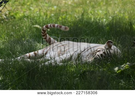 White Tiger Resting In Lush Green Grass Wagging His Tail.