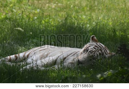 White Bengal Tiger Laying Down In The Grass.