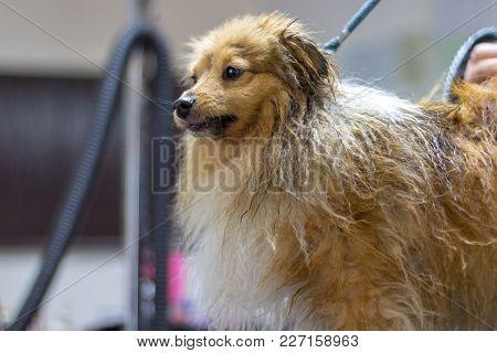 Shetland Sheepdog Sits On Table At A Dog Parlor