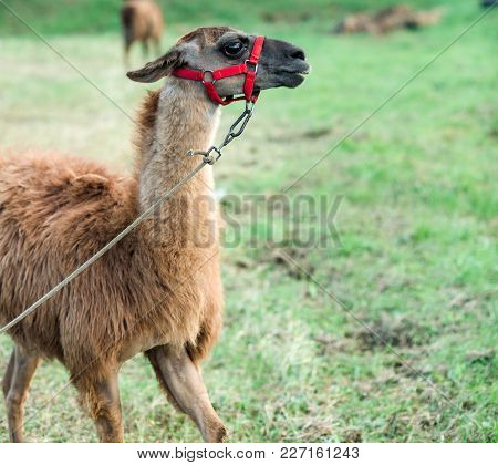 Llama With Brown Wool On Natural Background, Zoo. Pack Animal, Alpaca. Farm, Animal Farming, Agricul