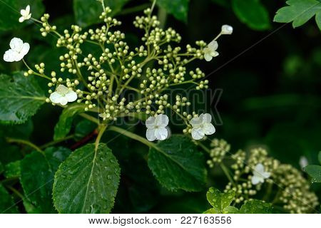 Guelder-rose Flowers. Summer Garden. The Blossoming Guelder-rose Growing In A Summer Garden.
