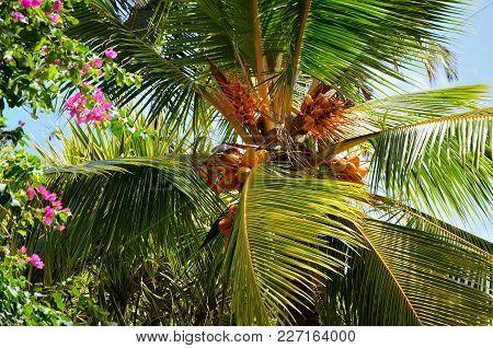 Royal Coconut (cocos) Growing In Sri Lanka