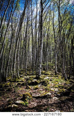 Selva De Irati (irati´s Jungle) Is One Of The Largest Beech Forest In Europe. Placed In Navarra, Spa