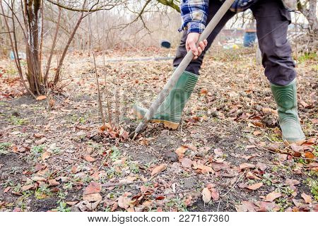 Gardener Is Using Shovel To Dig Out Young Fruit Tree With Roots To Multiply Minor Plants In His Orch