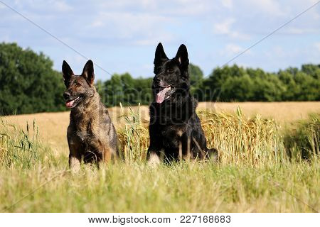 Two Shepherds Are Sitting In A Beautiful Nature On A Sunny Day