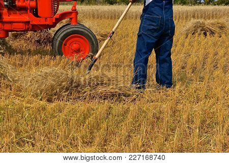 A Farmer In Bib Overalls Is Gathering A Bundle Of Wheat With A Pitchfork  In Front Of An Old Orange
