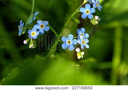 Forget-me-not. Field Flower. The Forget-me-not Flower Growing On A Summer Meadow.