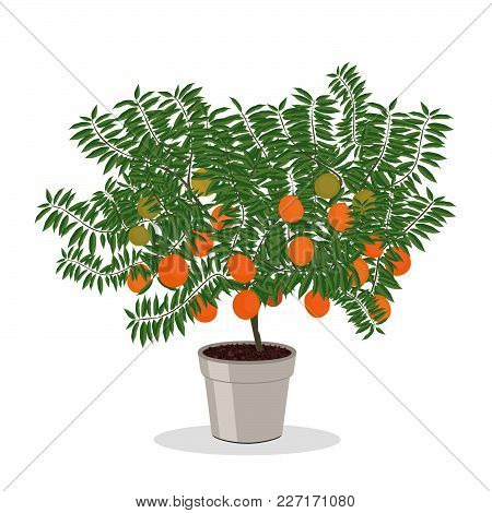 Dwarf Orange Tree In The Flower Pot. Fruit Tree Growing In Pot. Growing Oranges In A Container. Isol