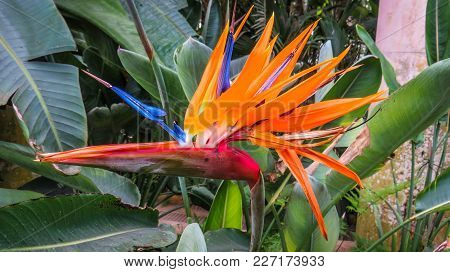 Bright Exotic Flower Bird Of Paradise  Or Strelitzia Reginae Is Called So After The Real Bird Whose