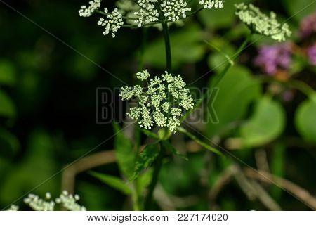 Goutweed. Field Flower. The Goutweed Flower Growing On A Summer Meadow.