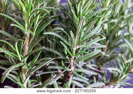 Growing Fresh Rosemary Branches In Front Of Purple Background