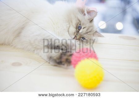 Pet Care Concept. A Beautiful Point-seal Siberian Female Cat Is Playing With Pink And Yellow Rubber
