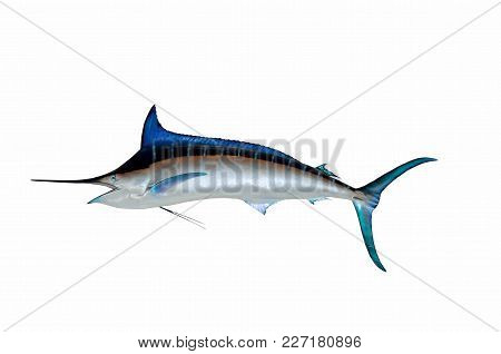 Blue Marlin Fish Wall Mount With Isolated Background