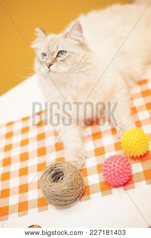 Pet Care Concept. A Beautiful Point-seal Siberian Female Cat Is Lying With A Skein Of Threads And Pi