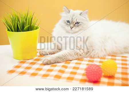 Pet Care Concept. A Beautiful Point-seal Siberian Female Cat Is Lying With A Plant In A Pot And Pink