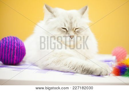 Pet Care Concept. A Beautiful Point-seal Siberian Female Cat And Colorful Rope Toy Ball Are On The T
