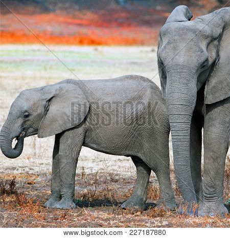 Tightly Cropped Pair Of African Elephants -  Mother And Calf Standing On The Dry Dusty Plans In Sout