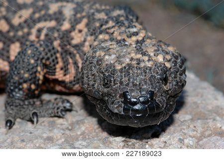 An Rough Looking Gila Monster Found In Southern Arizona.