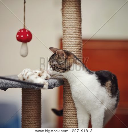 Striped With White The Domestic Cat With A Toy.