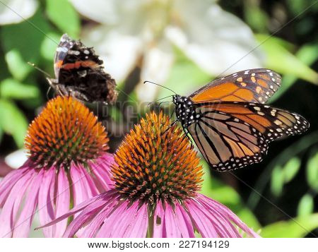 Red Admiral Butterfly And Monarch Butterfly On Purple Coneflower On A Shore Of The Lake Ontario In T
